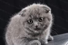 قطط سكوتش فولد بلو للبيع