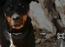 كلب روت وايلر انثا