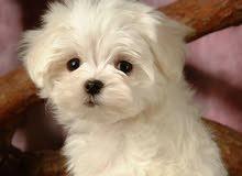 مطلووب كلب لولوو للتبني