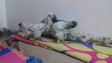 بيض وافراخ وفروجات كافه دجاج الزينه