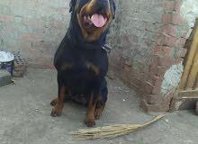 كلب رود