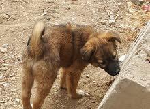 كلبة نوع مالينو عمر ثمانية شهور ملقحة ويوجد لديها شهادة صحية عرطة سعر 20،000ريال