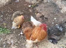دجاج كوشن ثلاث اناثي وديك