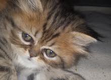 قطط فارسيات شيرازي مون فيس للبيع