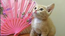 قط تركي انجورا العمر 45 يوم Turkish Angora small kitten 45 days