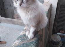 قطوس صيامي عيونه زرق للبيع