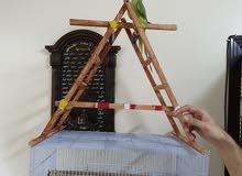 ببغاء اليف Friendly Parrot