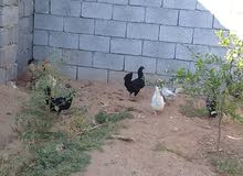 10 دجاجات  ما شاء الله  بدون ديك لبيع جمله