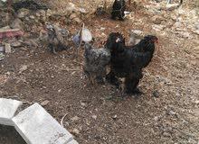 اربد دجاج براهمي