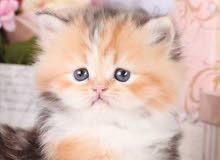 اريد قطط فارسية للتبني