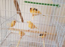 Beautiful CANARY for sale