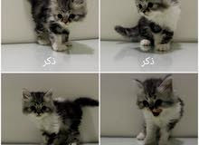 قطط هاف بيكي ذكور وإناث عمر اقل من شهرين