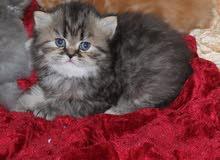 قطط شيرازية بيور للبيع