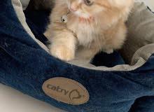 قطة ذهبية جميلة شيرازية