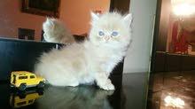 تريد قطة انتى من نوع فارسى لونها ابيض والاهم يكون عيونها زرقاء فى اقرب وقت