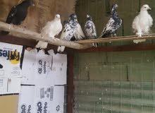 طيور تور للبيع