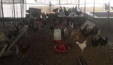 دجاج محلي بياض