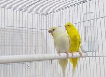 طيور حب كورك بنات هاجرمو عين حمره