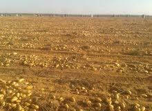 ارض مساحتها 20 فدان للبيع ببطاقه وحيازه زراعيه