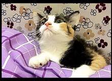 قطة انثي شيرازي كروس تركي تراي كلر صغير 12 اسبوع للبيع واتس اب فقط حاليا