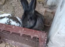 ارانب هجين الماني للبيع