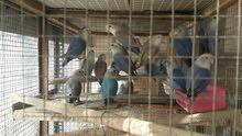 مجموعة طيور حب ( لاف بير) للبيع