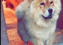 كلب تشي شاو