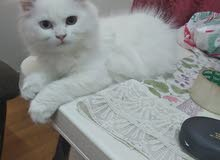 pure Persian male and female kittens ذكور وإناث ثلاث شهور
