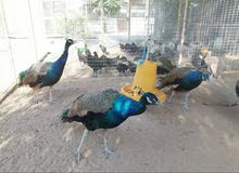 دكور طاووس