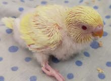 budgie babies urgently for sale in cheap price