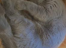 قطة نوع بريطاني للبيع