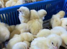 أجود أنواع صيصان الدجاج اللاحم الهندي كوب من الميثاق للدواجن