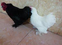 الدجاج بحالة جيدة زوج