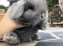 ارانب ميني لوب mini loop rabbits