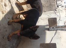 كلاب للبيع جرمن شبيرد بيور ب 170$ للأثنين لتواصل 770911335