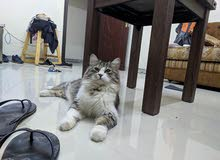 male cat for meeting ( relation) sale