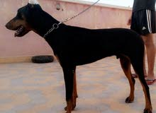 chien doberman royal
