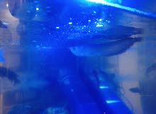 سمكه الاروانا المفترسه