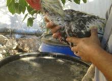 ييض دجاج باكستاني نخب ودجاج زينة