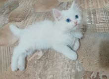 بزونه انثى عمره 3تشهر  شيرازيه لون ابيض عيون زرقاء كرستال