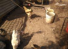 دجاج براهما بسعر حرق