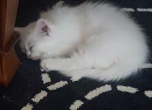 قط ذكر للبيع ابيض اللون
