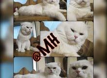 قطط سكوتش ابيض