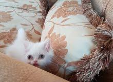 قطه انثي شيرازي بكي فيس عمر شهرين