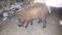 خروف للبيع السعر250 الف