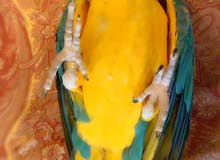 blue and gild macaw