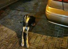 يوجد كلب ضائع صيد. ضائع. من يريد استلامه ارجو الاتصال 33232723
