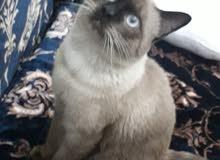 قطوس سيامي العمر سنة معه كوتيبة تطعيمات ..