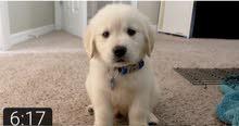 اريد اعرف سعر كلب كولدن مكان بيعة وسعر تلقيحة