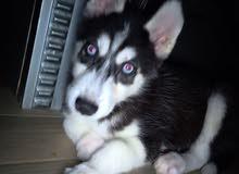 جرو ذكر سايبريان هاسكي للبيع Male Siberian Husky puppy for sale